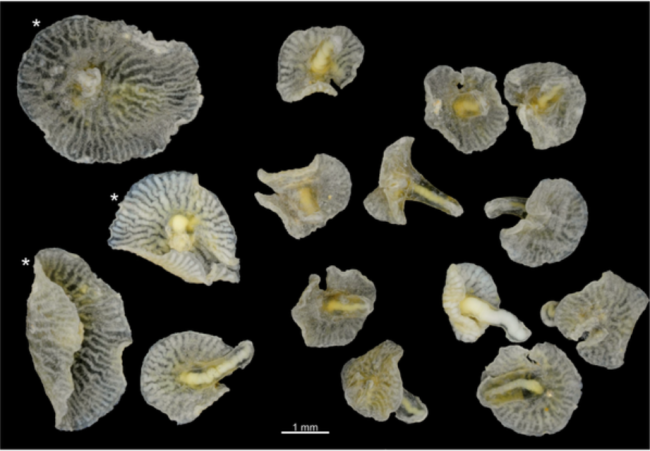 All of the Dendrogramma collected. D. enigmatica and (with *) D. discoides. doi:10.1371/journal.pone.0102976.g001