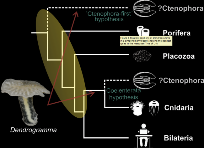 Dendrogramma could fit any number of places along the base of the animal tree of life. doi:10.1371/journal.pone.0102976.g008